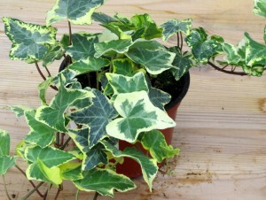 Hedera_Helix_Favorit