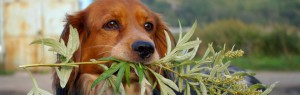 plants-toxic-to-dogs